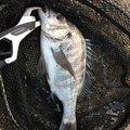 とあるアングラーさんの和歌山県でのクロダイの釣果写真