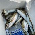 ウルモアさんの神奈川県横浜市での釣果写真