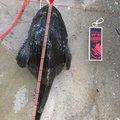 shuさんの青森県上北郡での釣果写真
