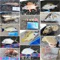 お子茶丸 さんの沖縄県でのロウニンアジの釣果写真
