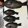 ポンデリングさんの宮崎県での釣果写真