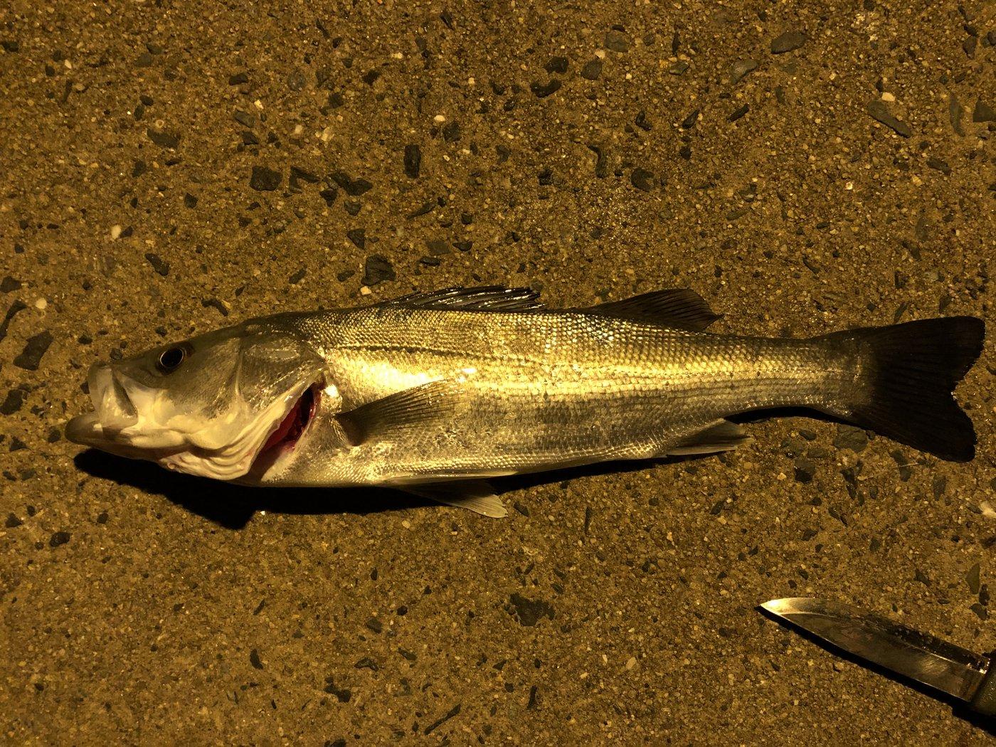 おでんさんの投稿画像,写っている魚はスズキ