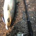 ヨシハラさんの山口県大島郡での釣果写真