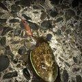 吹子さんのコウイカの釣果写真