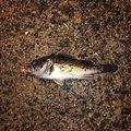 Esumeraruda0620さんの秋田県での釣果写真