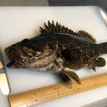 だいきさんの愛知県でのタケノコメバルの釣果写真