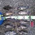 minminさんのカジカの釣果写真