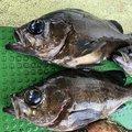 はなちゃんさんの兵庫県明石市での釣果写真