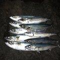 OKMAXさんの静岡県でのマサバの釣果写真