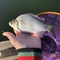 釣りキチ中学生さんの埼玉県川口市での釣果写真