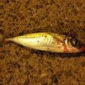ブレンドさんの兵庫県明石市での釣果写真