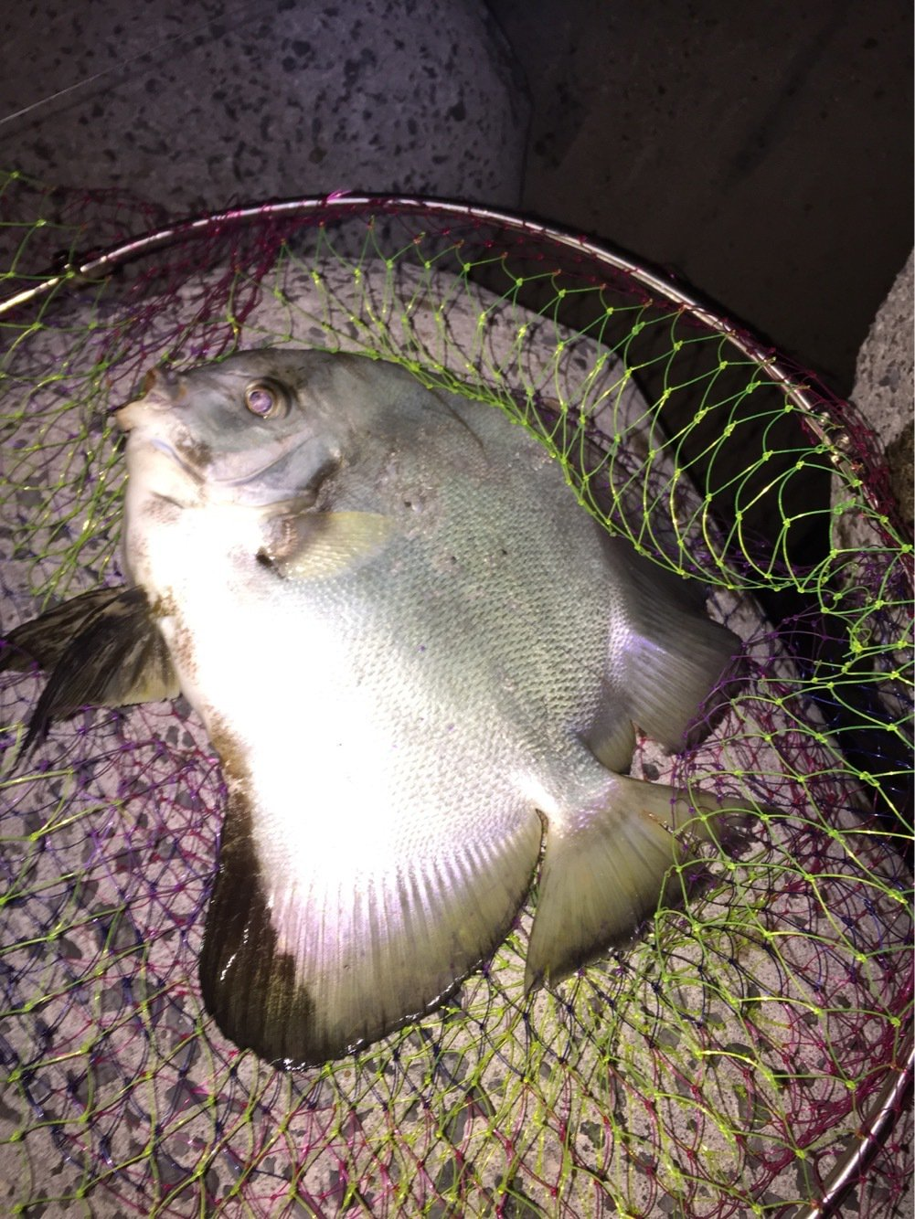Louieさんの投稿画像,写っている魚はツバメウオ