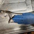 マルチさんのタチウオの釣果写真