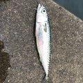 佐々木 祥太さんの岩手県での釣果写真