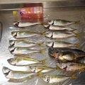 とりのさんの佐賀県での釣果写真