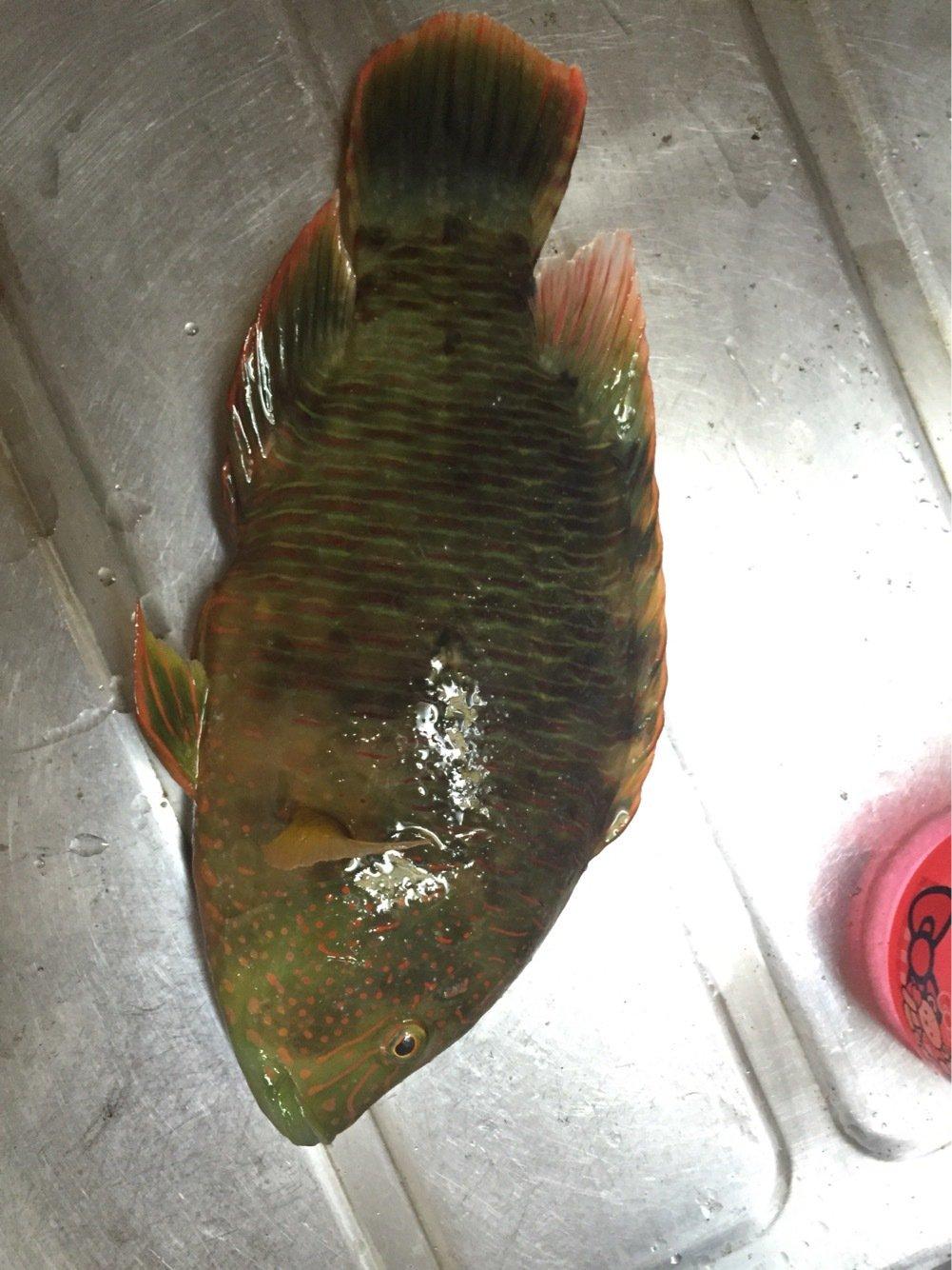 Louieさんの投稿画像,写っている魚はメガネモチノウオ