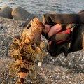 軍団さんの愛知県でのタケノコメバルの釣果写真
