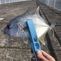 キチさんの鹿児島県での釣果写真