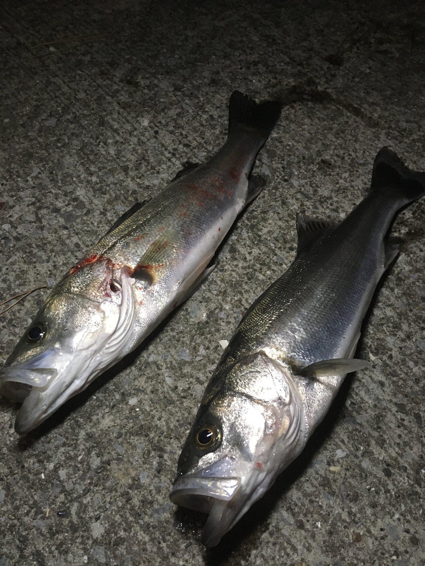 大和魂.さんの投稿画像,写っている魚はスズキ
