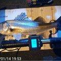 nofishingnolifeさんの東京都でのスズキの釣果写真
