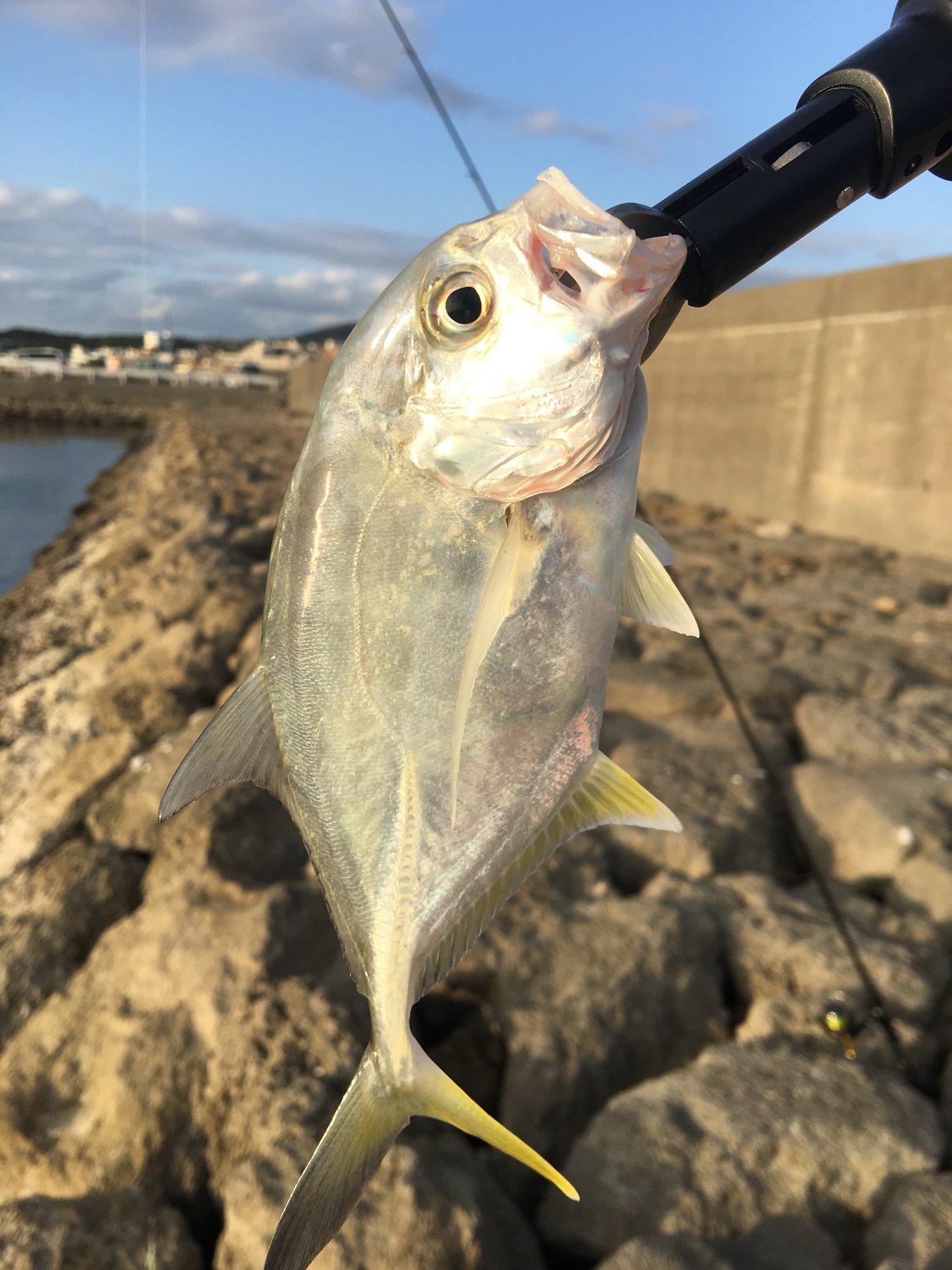 たまたまさんの投稿画像,写っている魚はギンガメアジ