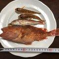 ひでさんの神奈川県藤沢市でのカサゴの釣果写真