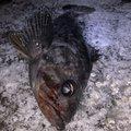 APPLEさんの青森県八戸市でのクロソイの釣果写真