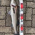 いちたさんの福井県での釣果写真