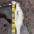 ぽちさんの新潟県での釣果写真