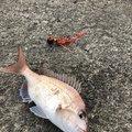 soldier_fishさんの香川県での釣果写真