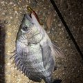りなべるさんの京都府での釣果写真