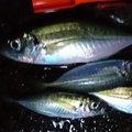 あさりさんの京都府での釣果写真