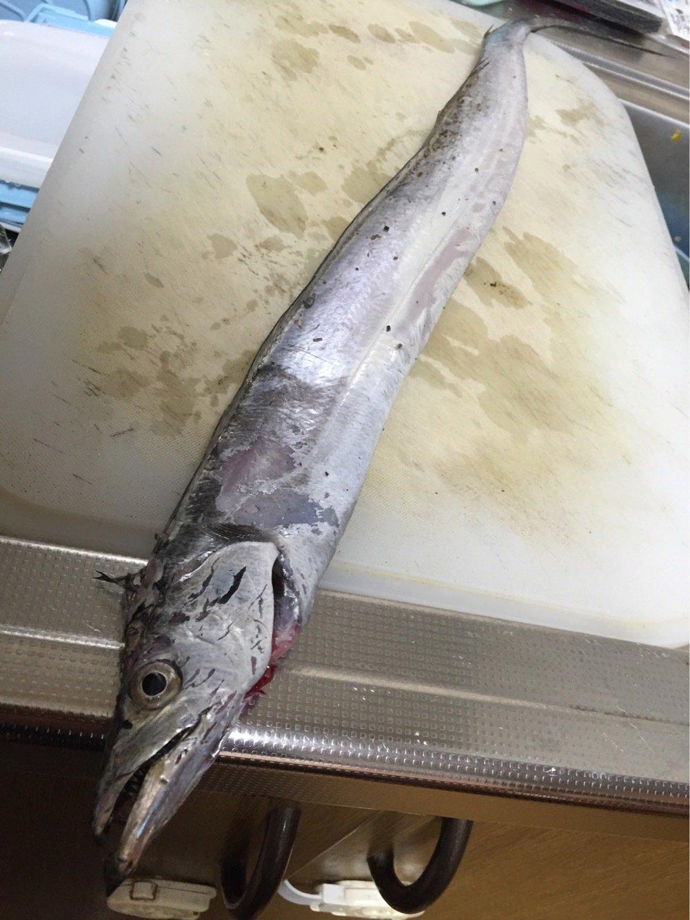 ったかのりさんの投稿画像,写っている魚はタチウオ