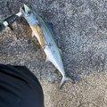さくらいさんの新潟県での釣果写真