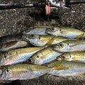 YOTCHANさんの愛媛県での釣果写真