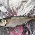 ろしあんさんの愛媛県での釣果写真