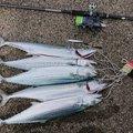 フーさんさんの新潟県での釣果写真