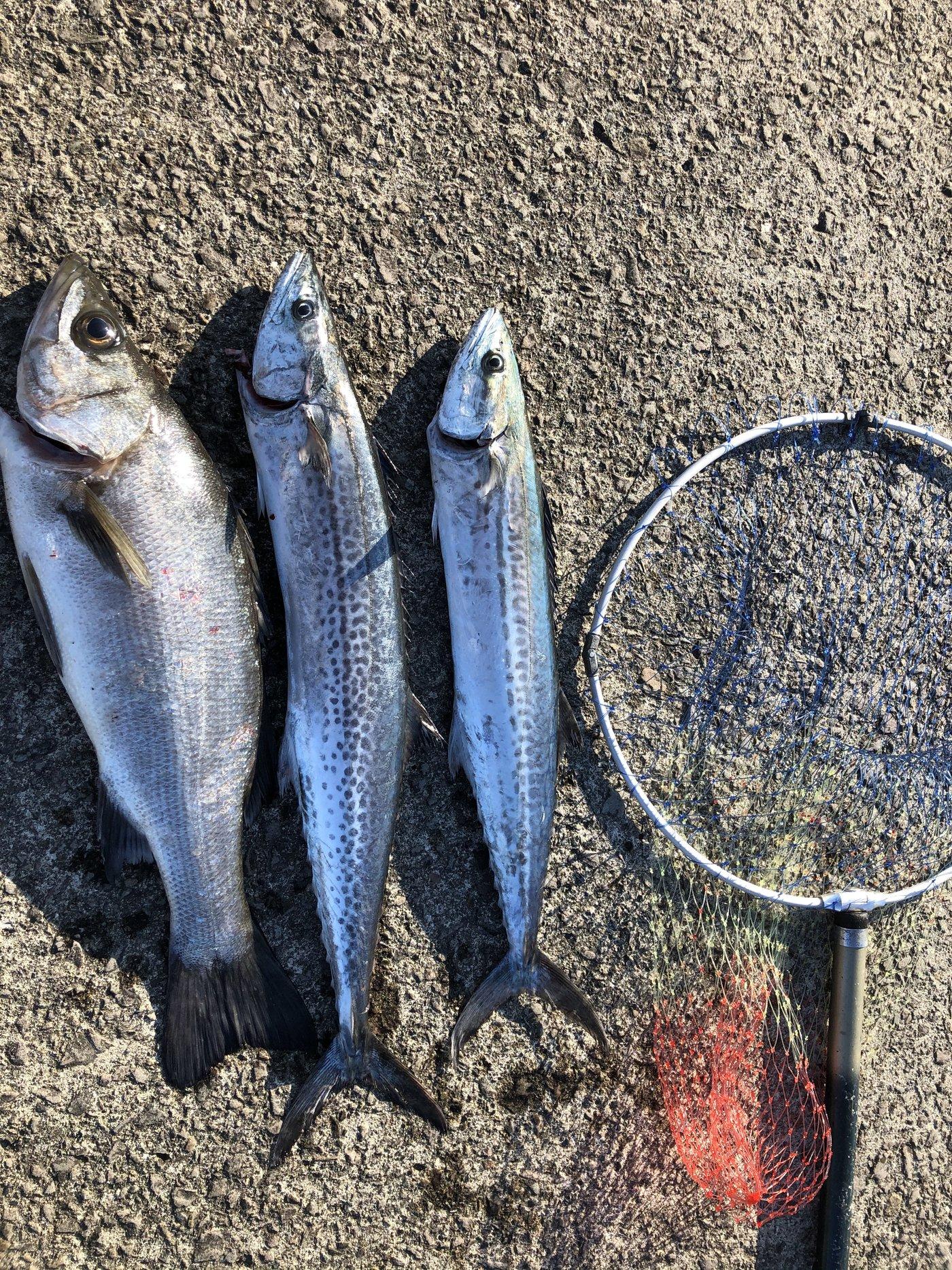 上田さんの投稿画像,写っている魚はヒラスズキ,サワラ