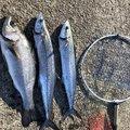 上田さんの宮崎県での釣果写真