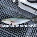 勇釣会まちゃさんの愛知県での釣果写真
