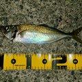 yo16さんの愛媛県での釣果写真