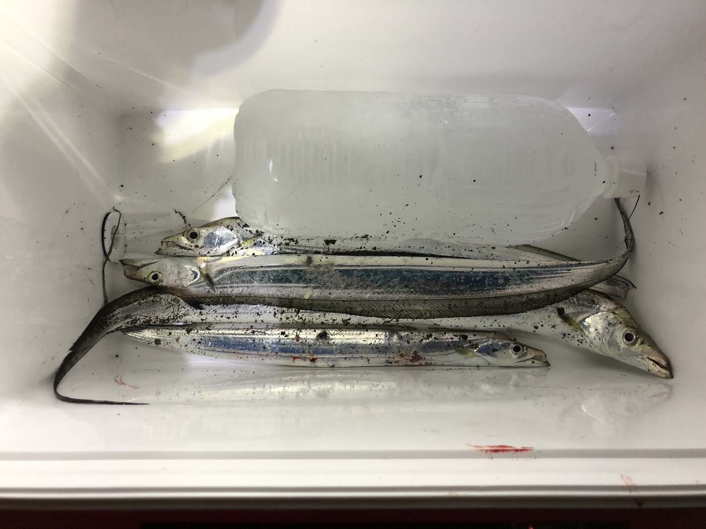 プレジャーさんの投稿画像,写っている魚はタチウオ