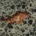 腱鞘炎さんの山口県での釣果写真