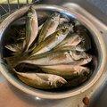 風のじょべ三郎さんの愛媛県での釣果写真