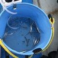 アイナメさんの愛知県での釣果写真