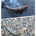 ユダヤさんの北海道でのホッケの釣果写真