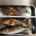 つりハマさんの鳥取県での釣果写真