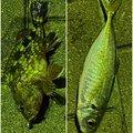 YUUHATSUさんのアジの釣果写真