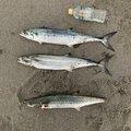 磯丸さんの鹿児島県での釣果写真