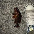 akiさんのカサゴの釣果写真